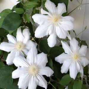 Clematis 'Mevrouw Le Coultre' – Iszalag (fehér virágú)