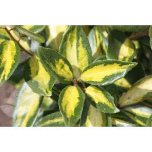 Elaeagnus ebbingei 'Limelight' - Sárga-tarka levelű ezüstfa