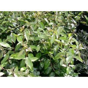 Elaeagnus ebbingei - Széleslevelű ezüstfa
