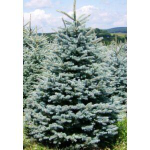 Picea pungens 'Glauca' - Ezüstfenyő (vágott)