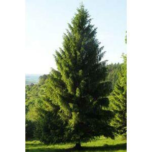 Picea abies - Lucfenyő