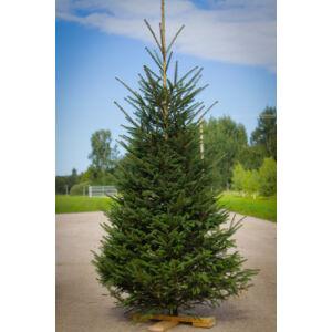 Picea abies - Lucfenyő (vágott)