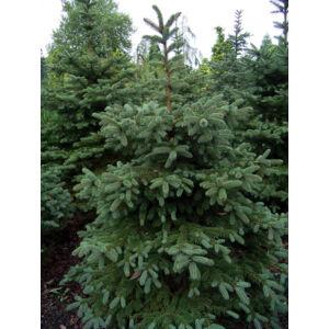 Picea pungens - Ezüstfenyő