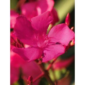 Nerium oleander 'Claudia' - Sötét ciklámenszínű leander