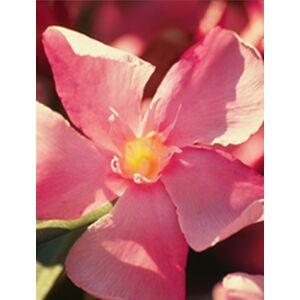 Nerium oleander - Lazacszínű, nagyvirágú leander