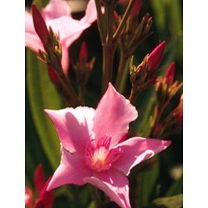 Nerium oleander - Rózsaszín, középen sötét virágú leander