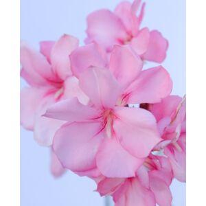 Nerium oleander – Halvány rózsaszín, piros szélű, teltvirágú leander