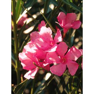 Nerium oleander - Ciklámenszínű, mini levelű leander