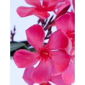 Nerium oleander 'Papa Gambetta'- Sötét lazacszínű leander