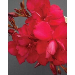 Nerium oleander – Sötét piros, teltvirágú leander