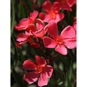 Nerium oleander - Téglavörös virágú leander