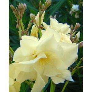 Nerium oleander 'Luteum' - Sárga, teltvirágú leander