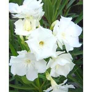 Nerium oleander 'Mont Blanc' - Fehér, teltvirágú leander