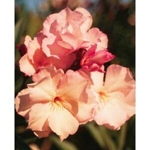 Nerium oleander 'Provence' - Barackszínű, teltvirágú leander