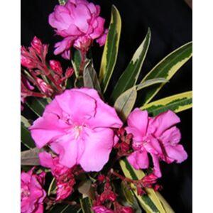 Nerium oleander 'Variegata' - Tarka levelű, rózsaszín teltvirágú leander