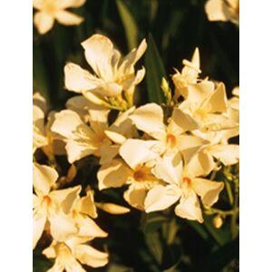 Nerium oleander 'Marie Gambetta' - Sárga virágú leander