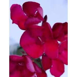 Nerium oleander 'Emile Saut' - Sötétpiros virágú leander