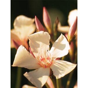 Nerium oleander 'Angiolo Pucci'- Barackszínű leander