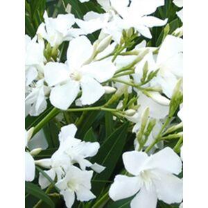 Nerium oleander 'Bianco Pouro'- Fehér virágú leander