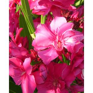 Nerium oleander 'Blue Blanc Red'- Sötét rózsaszín, teltvirágú leander