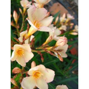 Nerium oleander 'Keceli Barack'- Mini, barackszínű leander