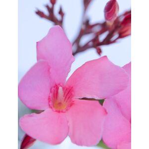 Nerium oleander - Pink virágú leander