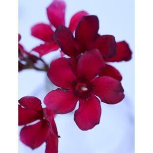 Nerium oleander 'Hamvadó parázs' - Mini, bordó virágú leander