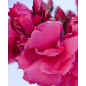 Nerium oleander - Meggyes rózsaszínű, teltvirágú leander
