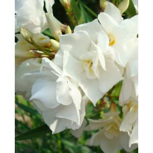 Nerium oleander - Sárga bimbójú, fehér teltvirágú leander