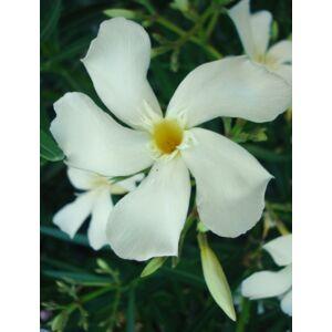 Nerium oleander 'Rivage' - Vajsárga virágú leander
