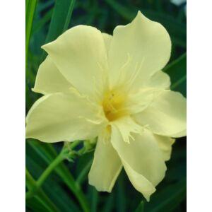 Nerium oleander 'Oasis' - Dupla szirmú, sárga virágú leander