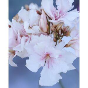 Nerium oleander - Mandulaszínű, teltvirágú leander
