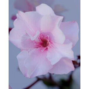 Nerium oleander – Halvány rózsaszín, teltvirágú leander