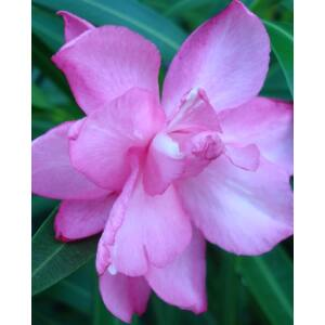 Nerium oleander – Sötét rózsaszín, piros szélű, teltvirágú leander