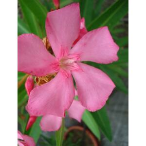 Nerium oleander – Sötét rózsaszín virágú leander