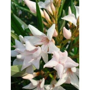 Nerium oleander - Csillagvirágú, mini, mandulaszínű leander