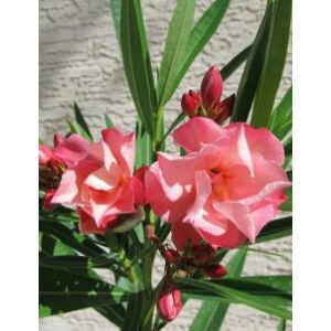 Nerium oleander 'Chopin'- Lazacszínű, teltvirágú leander