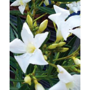 Nerium oleander – Fehér, mini virágú leander