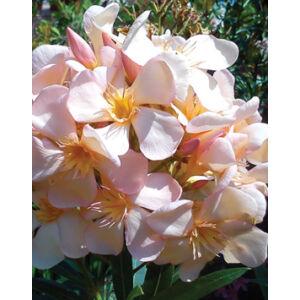 Nerium oleander 'Csömöri' – Barack-rózsaszínű leander
