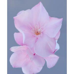 Nerium oleander – Pasztell rózsaszín, teltvirágú leander