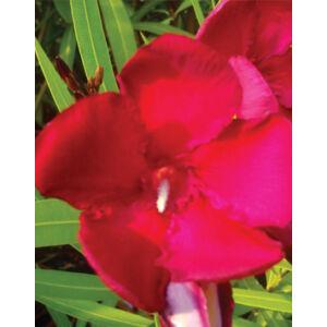 Nerium oleander – Óriás piros leander