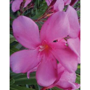 Nerium oleander – Óriás rózsaszín leander