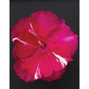 Nerium oleander 'Tamoure' – Sötét rózsaszín, teltvirágú leander