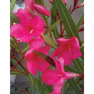 Nerium oleander – Csokros magenta színű leander
