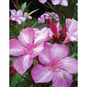 Nerium oleander 'Simie' – Rózsaszín-fehér csíkos virágú leander