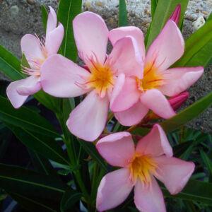 Nerium oleander 'Dottore Attilio'- Rózsaszínű leander