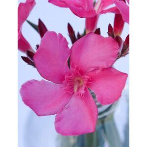 Nerium oleander - Világos ciklámenszínű, nagyvirágú leander