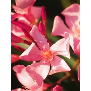 Nerium oleander 'Salmone' - Lazacszínű leander