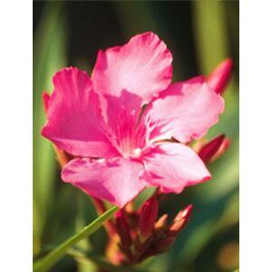 Nerium oleander 'Calypso' - Világos ciklámenszínű leander
