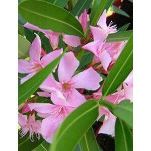 Nerium oleander - Rózsaszín virágú leander